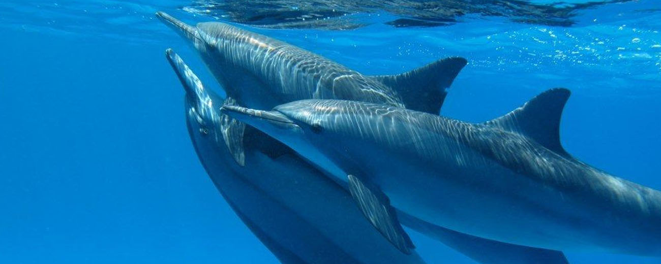 Dolphins Hurghada