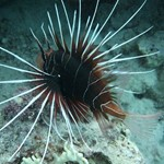 dive hurghada-diving-diver-red sea-hurghada-egypt-fish-lion fish