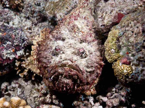 Red Sea Stonefish - The master of disguise